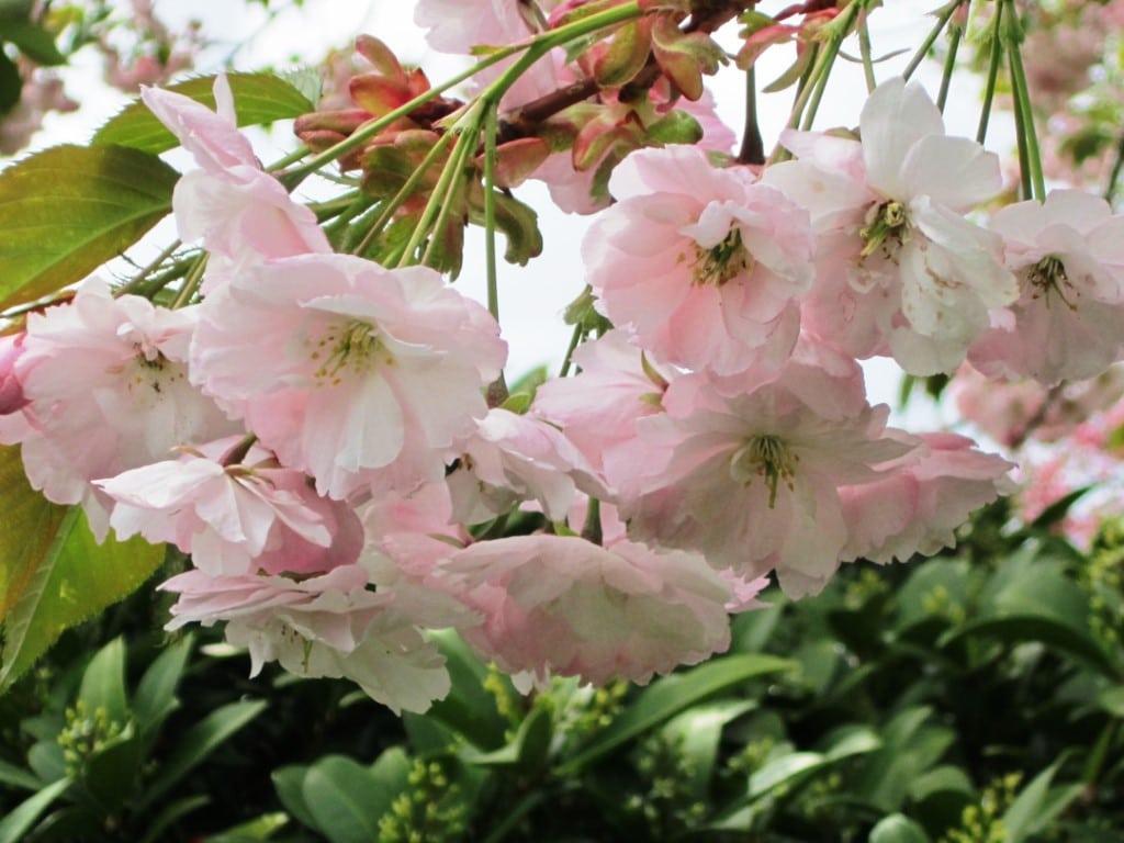 Ichiyou cerisier japonais