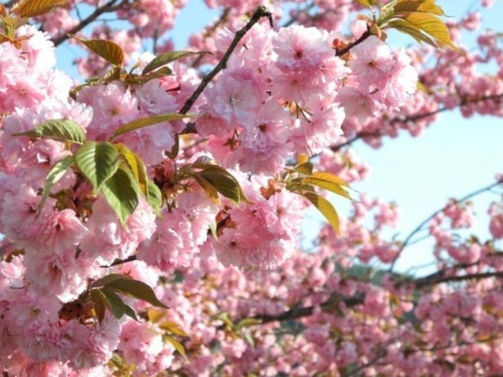 Kikuzakura sakura
