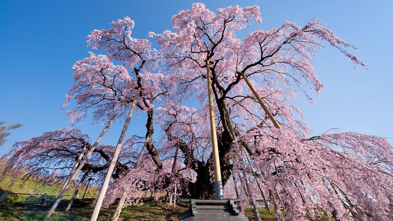 Shidarezakura (cerisier pleureur japonais)
