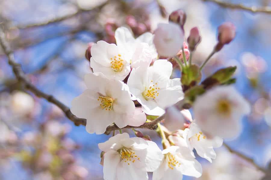 Somei Yoshino fleur de sakura