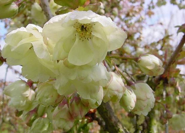 cerisier japonais Ukon