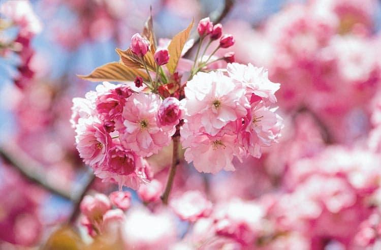 fleu de sakura Kanzan