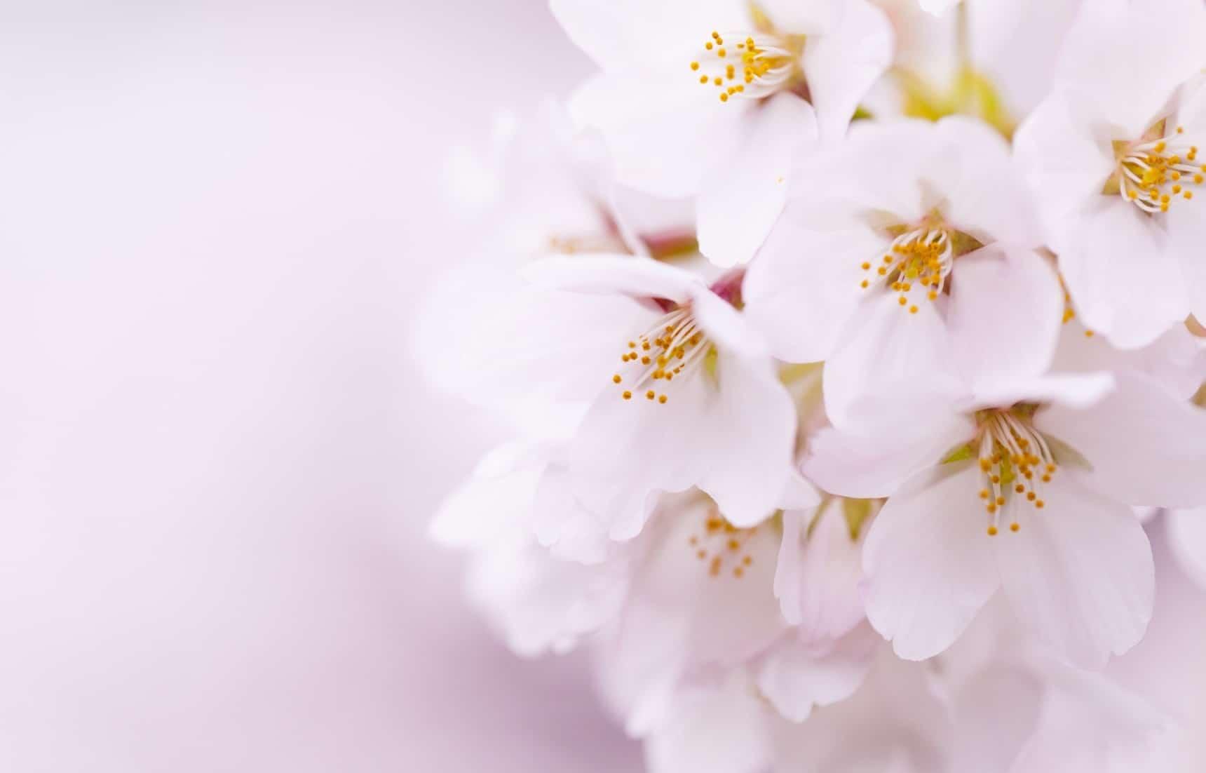 fleur de sakura Edohigan
