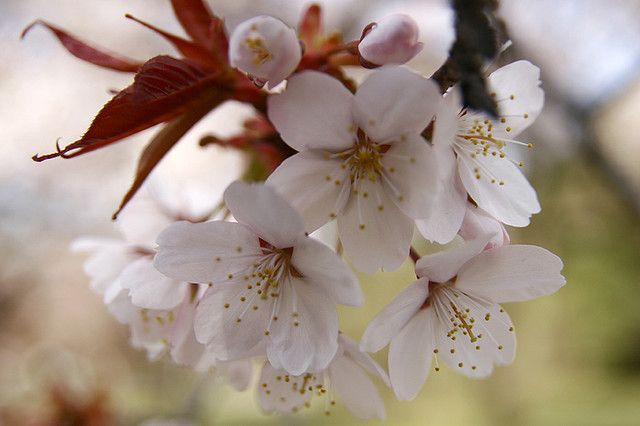 fleur de sakura sauvage Yamazakura